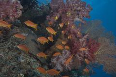 Scalefin anthias fish in Beqa Lagoon, Fiji. - stock photo
