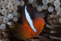 Tomato clownfish in its host anenome, Fiji. Stock Photos