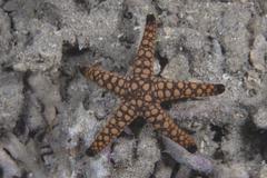 Close-up of a sea star, Beqa Lagoon Fiji. - stock photo