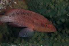 Small grouper, Beqa Lagoon, Fiji. - stock photo
