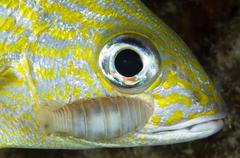 Parasitic Isopod on Grunt, Belize. - stock photo