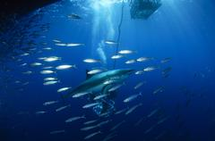 Divers viewing great white shark surrounded by bait fish. Stock Photos