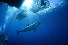 Female great white with cages, Guadalupe Island, Mexico. Stock Photos