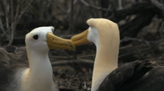 Waved albatross close up on isla espanola in the galapagos Stock Footage