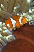 Clown anemonefish in anemone, Great Barrier Reef, Australia. - stock photo