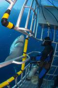 Diver observes a male great white shark from inside a shark cage. Kuvituskuvat