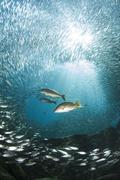 Trio of snappers hunting for bait fish, La Paz, Mexico. Stock Photos