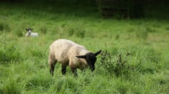 Grazing baby lamb - close up Stock Footage