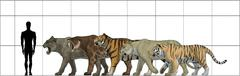 Big felines size chart. Piirros