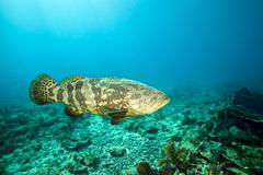 A Goliath Grouper effortlessly floats by a shipwreck off the coast Key Largo, Stock Photos