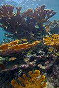Tropical fish take refuge amongst Elkhorn Coral. Stock Photos