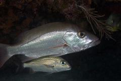 An adult and juvenile White Grunt fish swimming off the coast of Key Largo, - stock photo