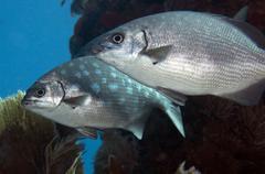 A pair of Bermuda Sea Chubs, Key Largo, Florida. Stock Photos