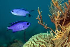 Two blue chromis swimming in the Atlantic Ocean, Key Largo, Florida. - stock photo