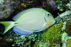 A tang fish eating plant growth off the coast of Key Largo, Florida. Stock Photos