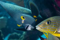 A French Angelfish swims up close to a Blue Striped Grunt. - stock photo