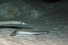 A pair of American Eels patrol the sandy bottom of Morrison Springs cavern. Stock Photos
