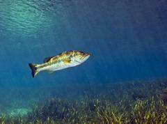 A Florida Largemouth Bass swims over the grassy river bottom. Stock Photos