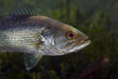 A close-up view of an adolescent Florida Largemouth Bass. - stock photo