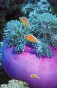 Pink Anemonefish protect their purple anemone home, Papua New Guinea. Stock Photos