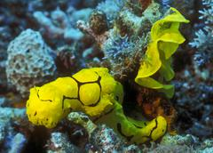 A yellow nudibranch crawling away from it's mass egg ribbon, Papua New Guinea. - stock photo