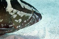 A Nassau Grouper swims along the ocean bottom. - stock photo