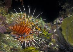 A Spotfin Lionfish flares it's dorsel spines and fins, Papua New Guinea. Stock Photos
