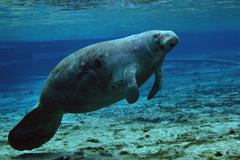 A West Indian Manatee in the shallow freshwater of Fannie Springs, Florida. Stock Photos