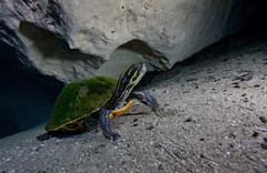 A Peninsula Cooter turtle on the sandy bottom of Morrison Springs cavern. Stock Photos