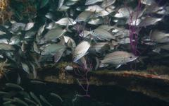 A large school of Tomtate inside the shipwreck Liberty, Panama City, Florida. Stock Photos
