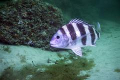 A large Sheepshead ruising the bottom of a rock jetty. Stock Photos