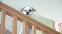 Cute Dog Looking Over Railing Stock Footage