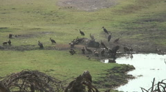 VULTURES AND DEAD CAPE BUFFALO Stock Footage