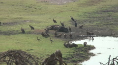 VULTURES AND DEAD CAPE BUFFALO - MED Stock Footage