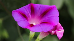 Morning Glory flower sways in the wind Stock Footage