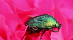 Chafer beetle on a flower bud. macro Stock Footage