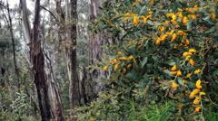 Australia Kosciuszko yellow flower and gum trees Stock Footage