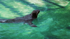 Fur seal swim, spin and play in the water near the shore Stock Footage