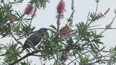 Bird on Bottlebrush tree in New Zealand Stock Footage