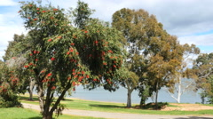 Australia Lake Hume view with flowering bottlebrush tree Stock Footage