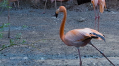 Pink flamingo stretches and spreads its wings around their flocks Stock Footage
