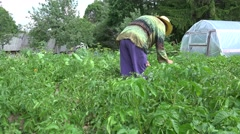 Senior woman pick parasite pest from potato in garden. 4K Stock Footage