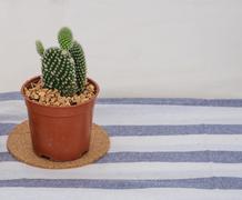 Bunny ears cactus flowerpot on tablecloth Stock Photos