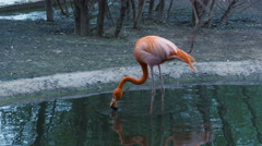Pink flamingo standing in water, flexing his legs and drinks Stock Footage