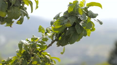 Green tree branch refocus sliding to green valley 4K Stock Footage