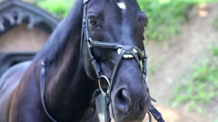 Black horse in the bridle. Stock Footage