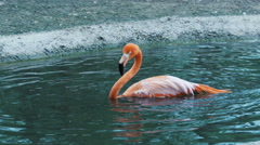 Flamingo bathing, dip head into the water, splashes, cleans feathers Stock Footage