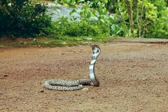 King Cobra Ophiophagus hannah - stock photo