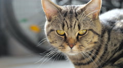 Cat with orange eyes looking in camera and look away 4K Stock Footage