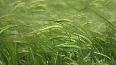 Green ears of wheat in the wind Stock Footage
